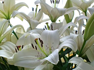 EasterLillies CIMG13804Web